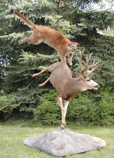 Mountain Lion Attacks Deer