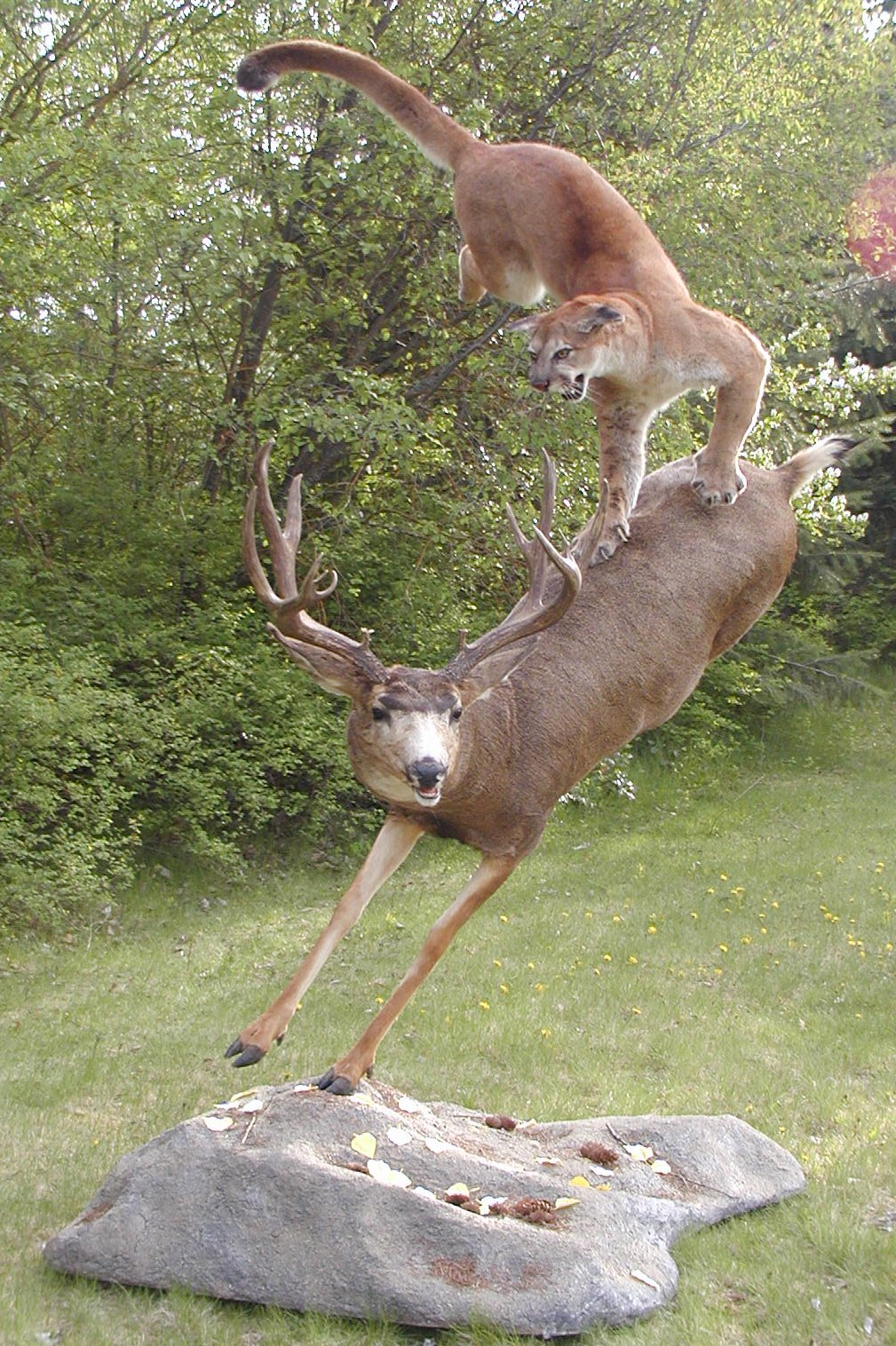 Mountain Lion Attacking A Deer